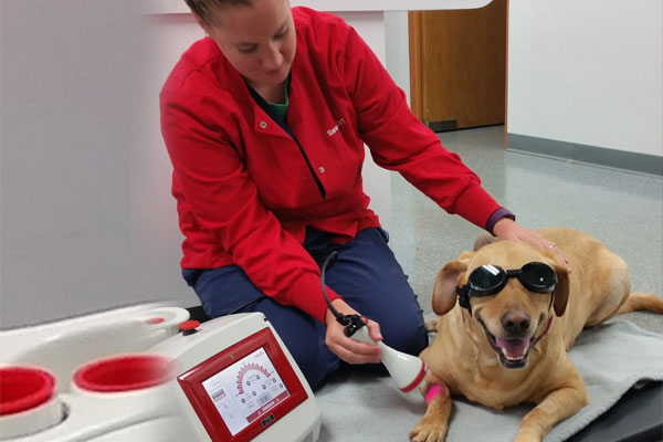 veterinarians performing Laser therapy on dog