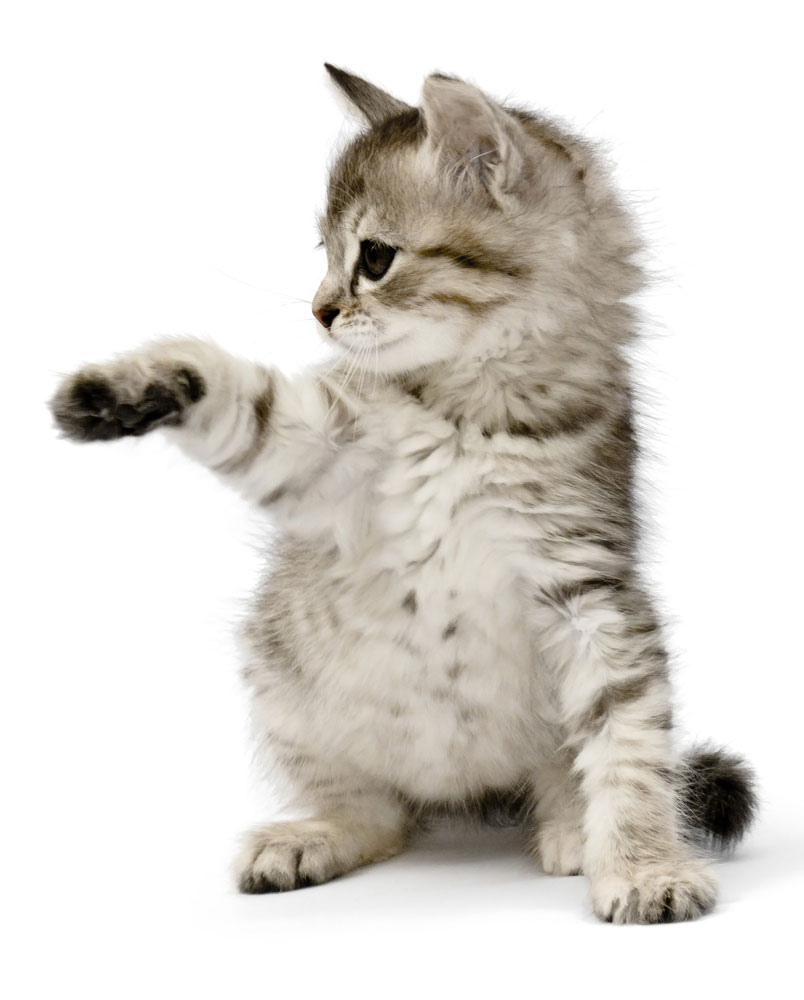kitten holding leg in the air isolated white background