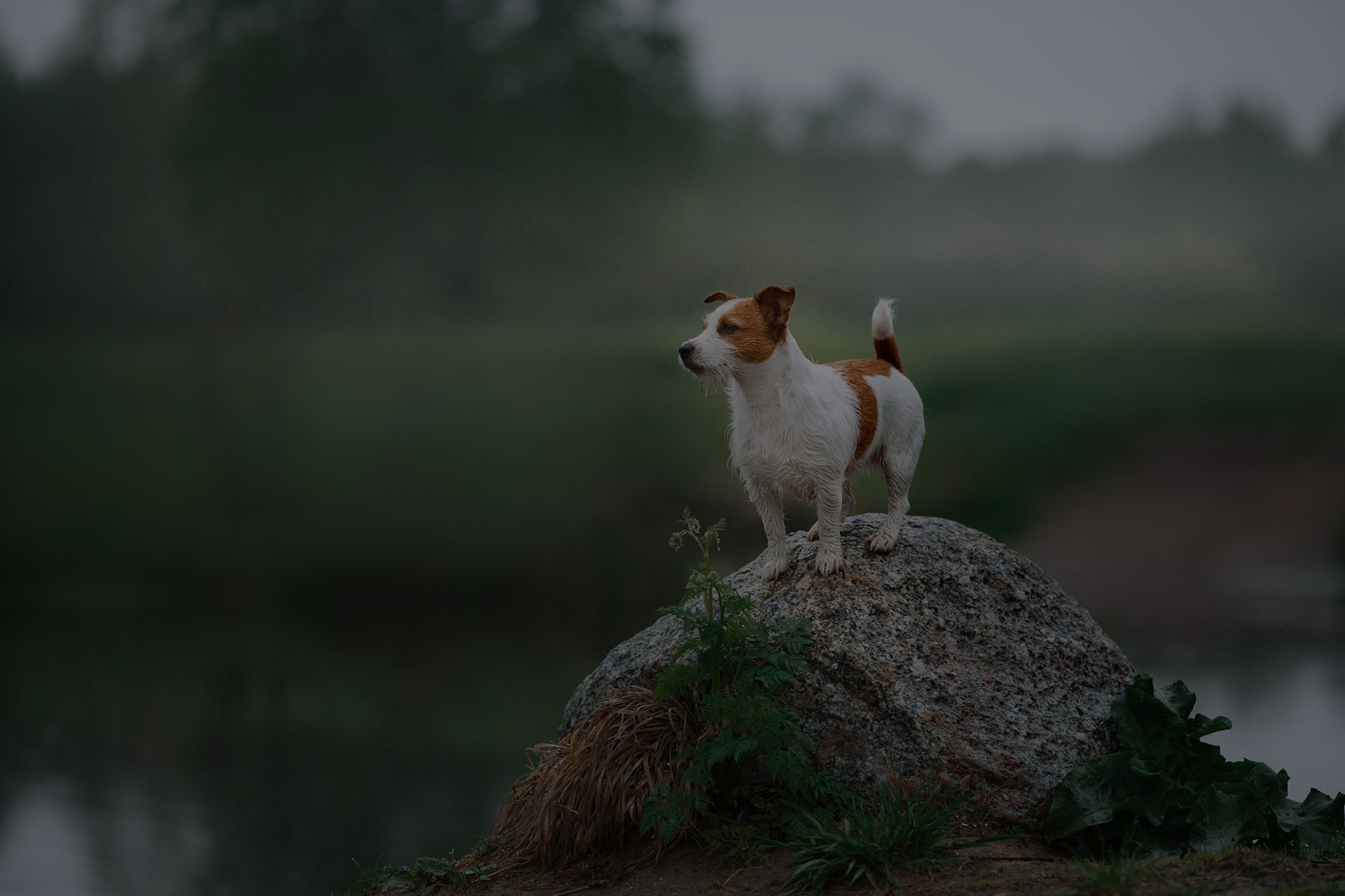 Dog Jack Russell Terrier walking by the lake