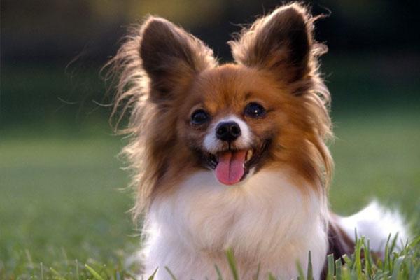 spitz pomerian dog
