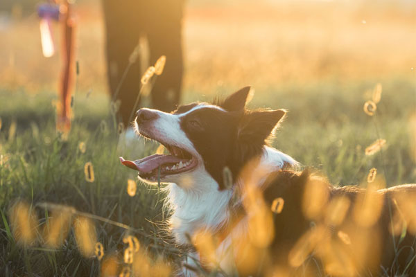 Beautiful border collie lying in the grass after long play