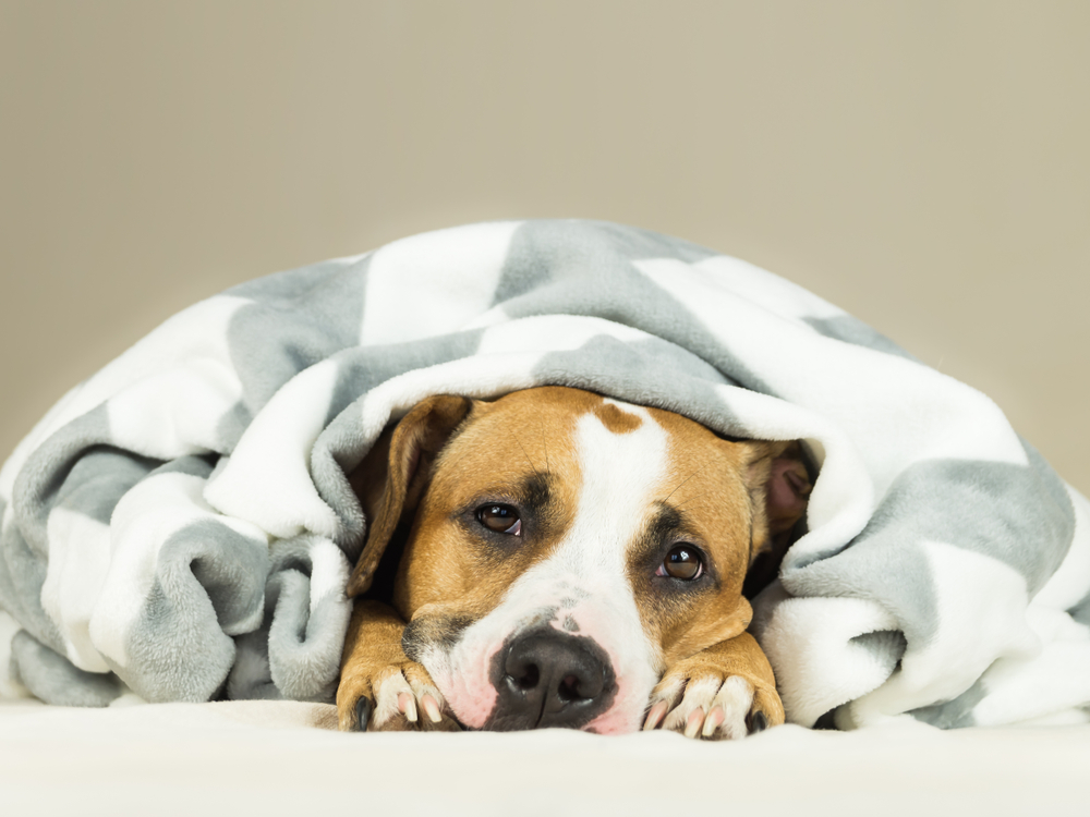 Funny staffordshire terrier puppy lying covered in throw blanket and falling asleep