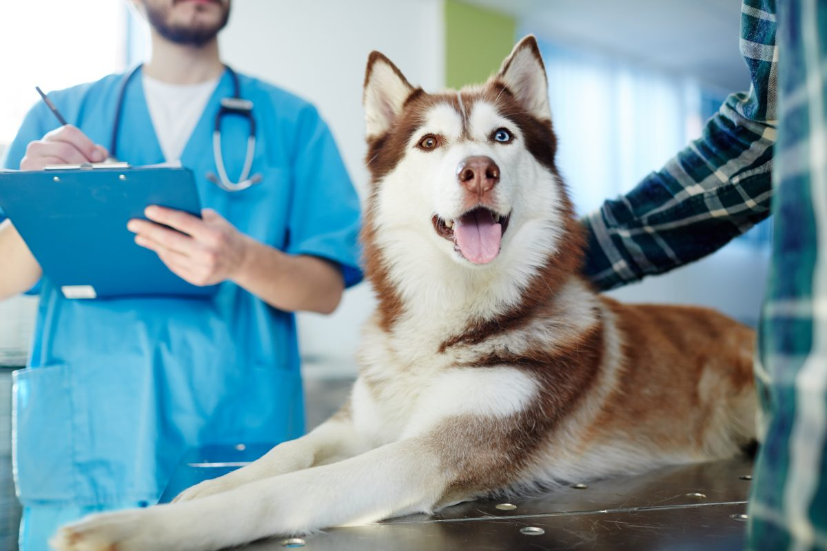 Husky dog lying on vet table with doctor and master near by