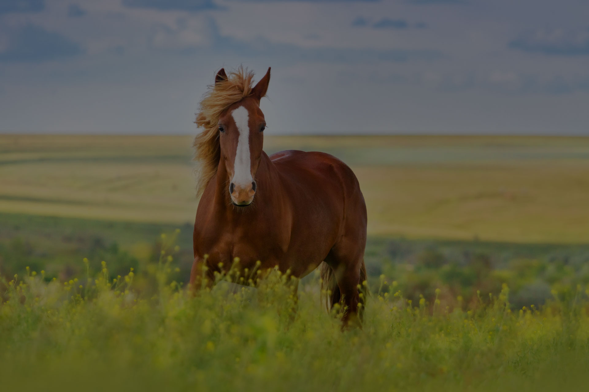 Beautiful red horse with long blond mane in spring field with yellow flowers